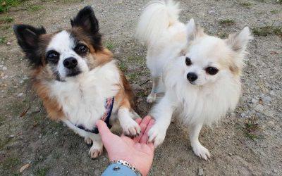 Trickdogging für kleine Hunde